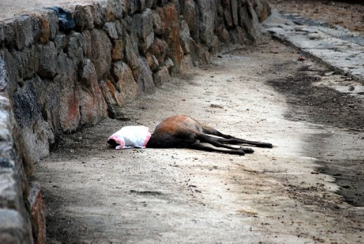 Miyajima, Japan - On the shores of the little island, some find a place to reach the end of the road. Here the deer face was carefully wrapped and covered with a local resident's veil.