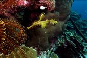 Soms moeilijk te vinden, maar het speuren meer dan waard, een delicate ghost pipefish (buisbek): by irko_mirjam, Views[88]
