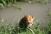 On a locality mostly destined to harvesting, farmers have build artificial rivers for irrigation and disposal of liquid residuals; but to animals, these waters bring an entirely diferent kind of use, in the case of this dog