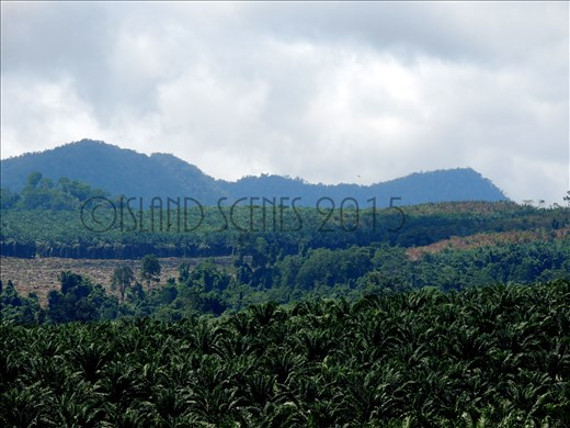 Arriving to Bialla's magnificent Hargy Oil Palm's sceneries..