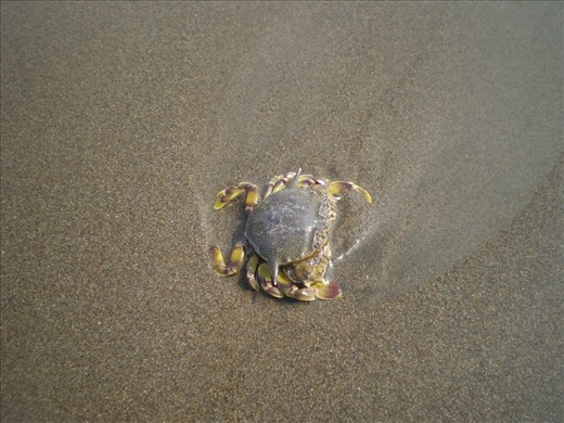 This figure of Mr. Crab was happy walking around on the Parangtritis Beach. If you're lucky, you can see it. Sometimes he (the crab!) swept away by the waves. In this picture the crab was walk, but a moment later he had disappeared again, drifting. Until my third time to Parangtritis, I have not found another crab.