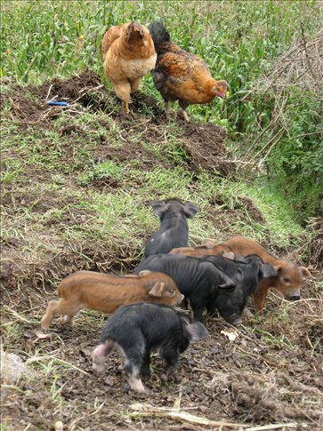 Four day old piglets in Vicos!