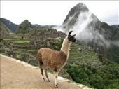 Llama chillin' at Machu Picchu: by ivan_miral, Views[383]