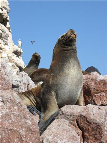 A sea lion sunning at Islas Ballestas