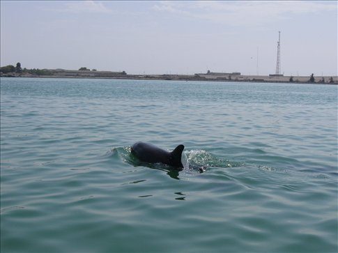 A dolphin joins us for the final ride back to the mainland from Islas Ballestas