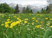 Even dandelions look beautiful in the Alps!: by ivan_miral, Views[356]