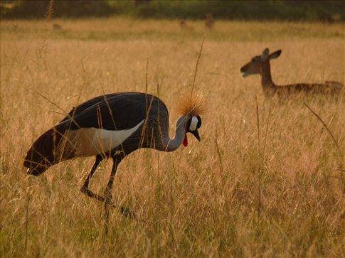 The treasured Crested Crane, which appears on the Seal of Uganda.