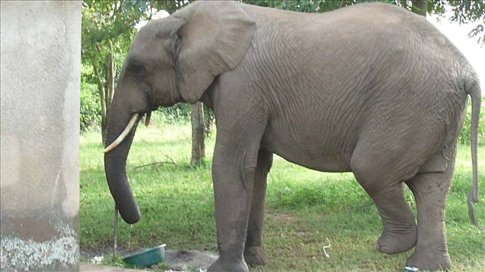 Mary the elephant, washing herself at the tap at Queen Elizabeth NP