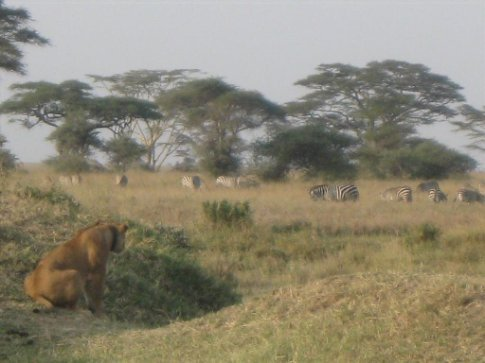 We drove up to find this sneaky lion covertly watching a herd of zebra - as we watched, he turned his head toward us, and Miral thought she heard him say,