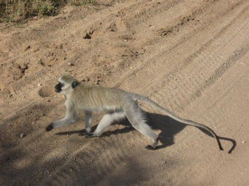 Vervet monkey makes a break for it in front of our jeep, to follow his friends.