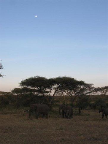 Elephants at dusk.