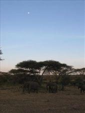 Elephants at dusk.: by ivan_miral, Views[333]