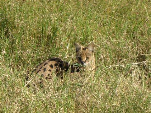 Serval in Ngorongoro