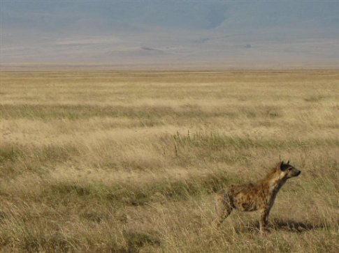 We watched this hyena smell his way toward the lion's feast... and get bullied away.
