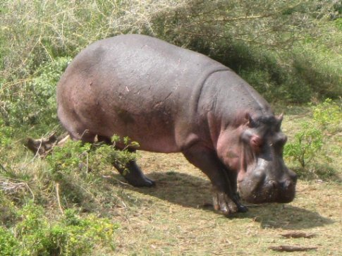 Hungry, hungry hippo... walking over to join his family lazily floating with the exotic birds of Manyara.