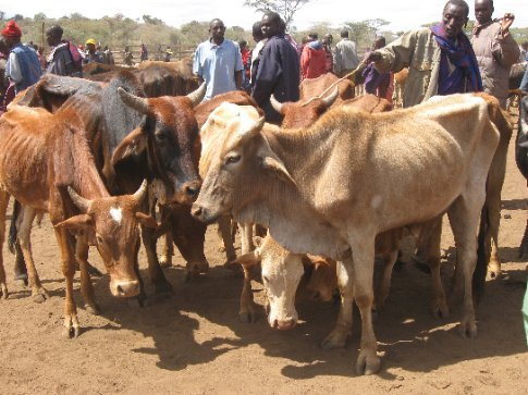 Cattle for sale at market: they are emaciated by the three-year drought and the unavailability of grass for grazing.