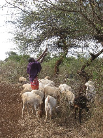 Maasai herd cattle, sheep and goats, often traveling long distances to find food for the animals. With no grass to graze from the current drought, goats here are fed by knocking seeds from a tree.