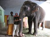 While we waited for Trichy's Thiruvanaikaval Jambukeshwara Temple to re-open after lunch, we were befriended by a young elephant keeper. Many temples in South India honor the deity Ganesh with blessing-giving elephants. You offer the elephant a few rupees and the elephant touches its trunk to your head. We were worried about how they are treated -- but our hour spent with Shakti the Elephant and his trainer proved a deep love and a deep commitment between human and animal. Shakti is truly one of the family -- and an incredibly sweet and intelligent being!: by ivan_miral, Views[2038]