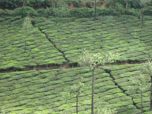 As we made our way to the South Indian coast on a bus from Kumily to Kottayam, we passed through tea plantations. If we had any idea about the beauty of the textured patchwork patterns formed by the tea plants, we probably would have planned to explore them more than this drive-by.
