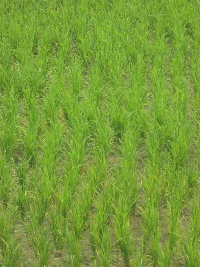 Any wandering in Laos brings one past the neon-green rice paddies.