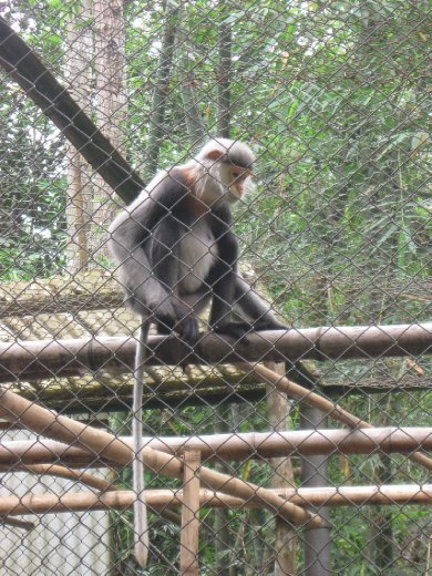 At Cuc Phoung National Park near Ninh Binh there is an unfortunate need for a large primate center that rescues several endangered species from illegal poachers with hopes of eventually re-introducing them to the wild.