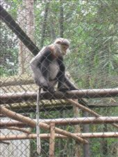 At Cuc Phoung National Park near Ninh Binh there is an unfortunate need for a large primate center that rescues several endangered species from illegal poachers with hopes of eventually re-introducing them to the wild.: by ivan_miral, Views[363]