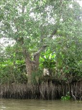 The waterways are also famous for beautiful mangrove trees.: by ivan_miral, Views[292]