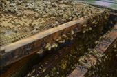 The frame is removed from the hive, showing the bees hard at work.: by ivanchristian, Views[63]