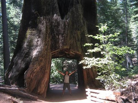 Giant sequoias up to 120m tall