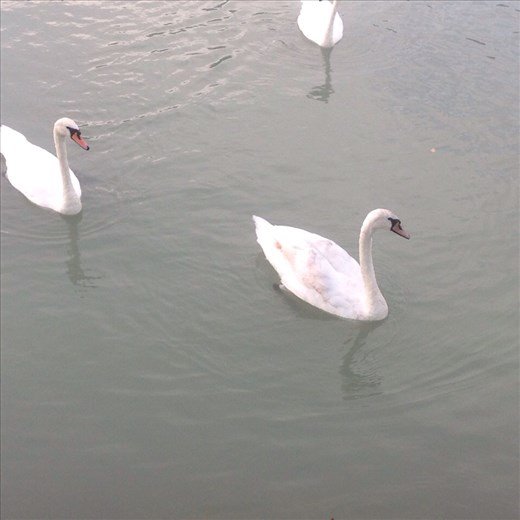 Swans in the Danube out of our from door.