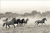 Rescued wild mustang mares enjoy a moment of wild abandon!: by jacquelinedeely, Views[97]