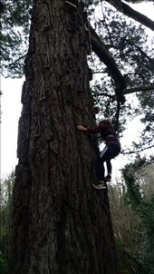 Maya climbing a Monterrey pine brought to Ireland from Washington by the Guiness family: by jakemoffat, Views[224]