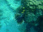 Mabul Island - Scorpian Fish: by jambopablo, Views[158]