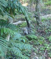 Coatimundis in Tikal: by jambopablo, Views[228]