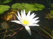 Water Lilly on River Dulce, Guatemala.: by jambopablo, Views[262]