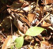 Wee Gecko, Penang National Park (Taman Negara Pulau Pinang), some massive monitor lizards but too quick for me to photo, good 2m long.: by jambopablo, Views[233]
