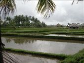 Rice Fields of Ubud, Bali, Indonesia.: by jambopablo, Views[194]
