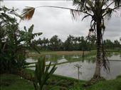 Rice Fields of Ubud, Bali, Indonesia.: by jambopablo, Views[182]