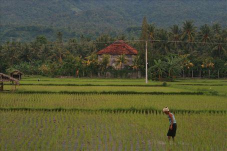 Paddy field in Lovina
