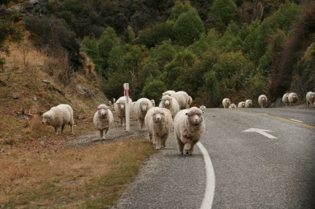 Part of the sheep road block...