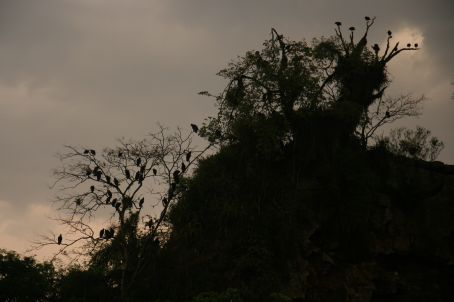 Vultures in the trees...