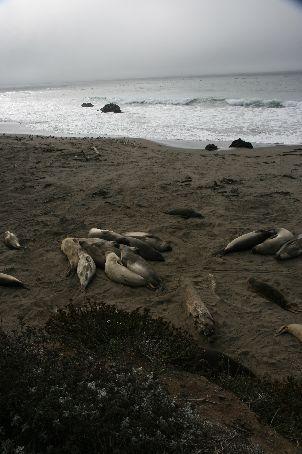 Elephant seals, having a little snooze..