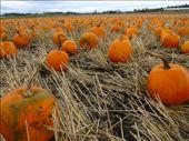 Pumpkin patch: by jamesshanks, Views[137]