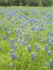 A field of Bluebonnets: by janicemorris, Views[47]