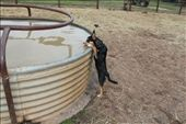 'Lucky' - Kelpie pup drinking from a horse trough.  Lochlea, Pilliga: by janisloveos, Views[523]