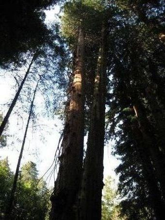 A Calafornian Redwood