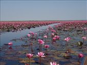 Lotus flowers on the lake: by jbolt, Views[1472]