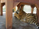 Tiger Kingdom: by jciecko, Views[214]