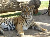 Tiger Kingdom: by jciecko, Views[205]