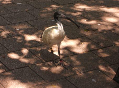 Common weird birds in central Sydney